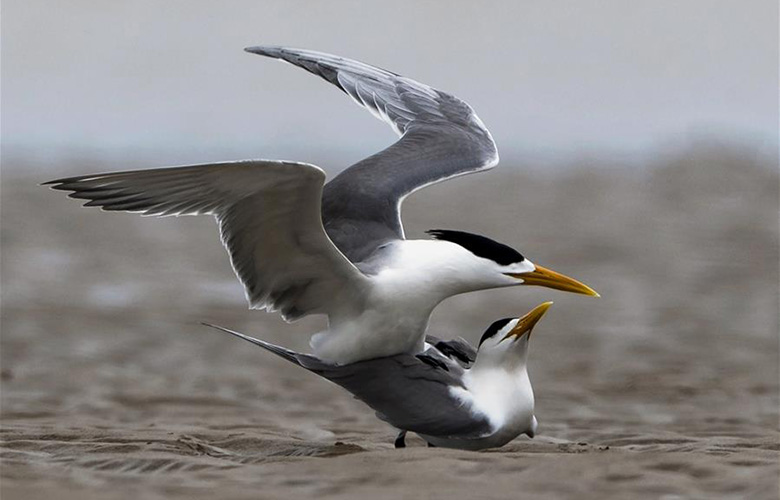大凤头燕鸥的沙洲柔情