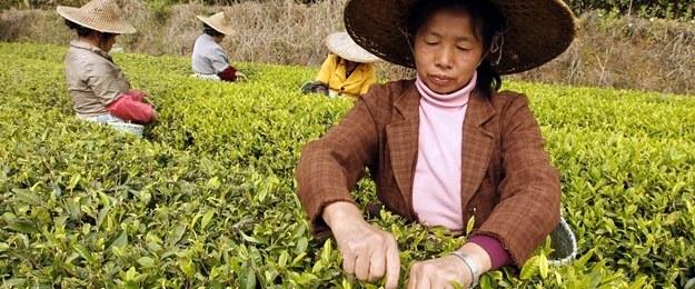 武夷山正山小種紅茶開採