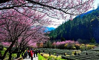 初春賞櫻花 臺灣農場美成這樣