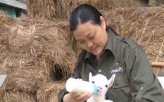 龍岩:外地媳婦養本地兔 帶領農戶發家致富