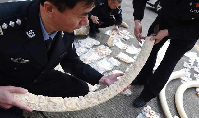 福建森林公安破獲一起特大象牙非法制售案件