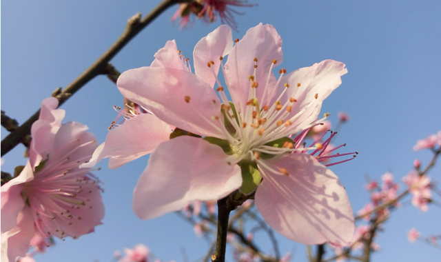 福安畬族村:桃花開引遊客來