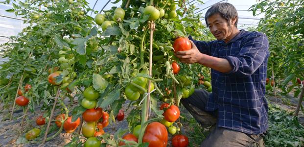 惠安推广新品种种植 促增产增收