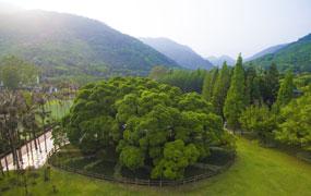 榕樹:福州生態文化象徵