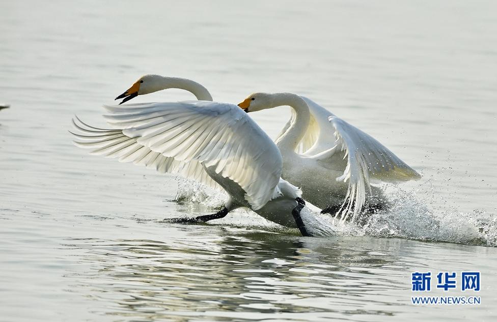 河湿地边水域,两只天鹅在水面上嬉戏低飞.新华社记者 梅永存 摄-图片