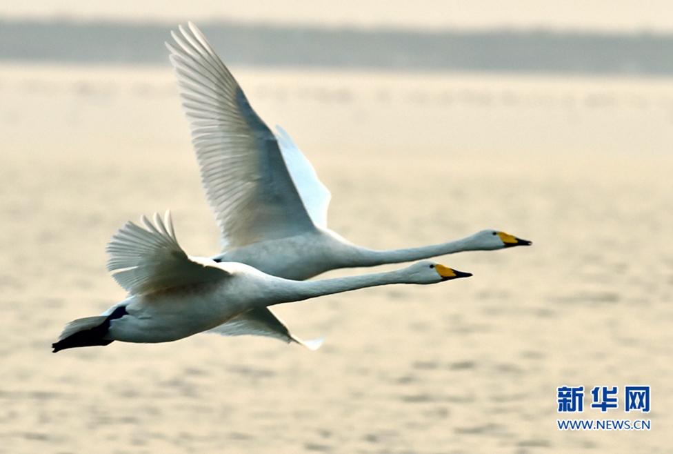 河湿地边水域,两只天鹅在水面上低飞.新华社记者 梅永存 摄-美 过图片