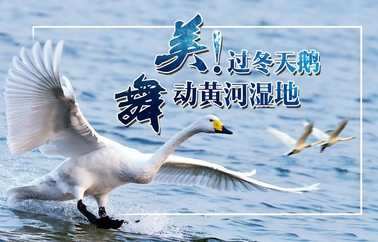 美!過冬天鵝舞動黃河濕地