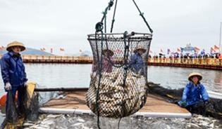 福建寧德迎來大黃魚豐收季