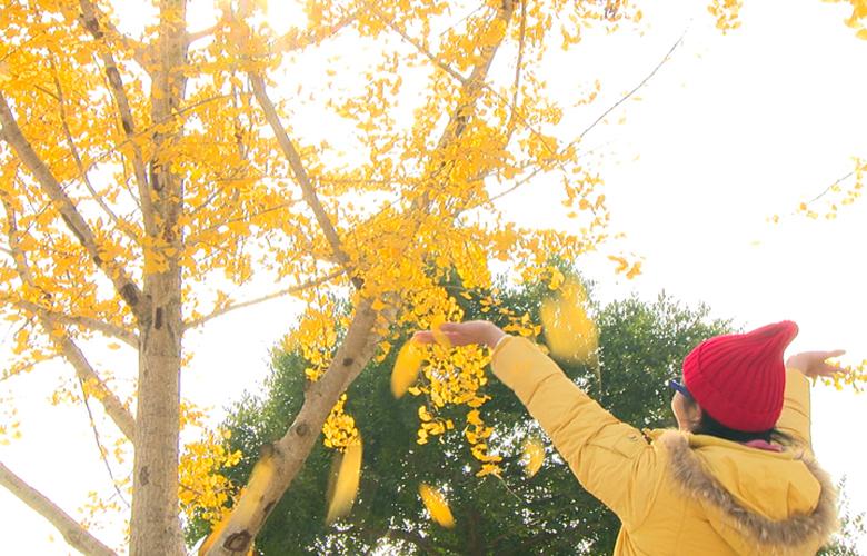 生態南坑 醉美銀杏葉黃時
