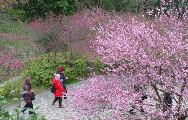 鼓山梅里景区梅花盛开正是赏梅好时节