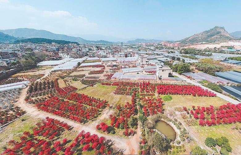 龙海木棉村:创造三角梅的流行色