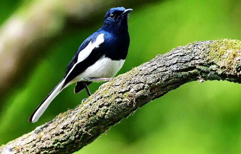 古樹,春鳥
