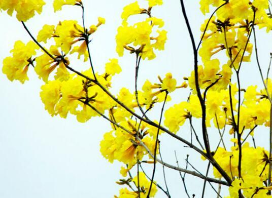 福州黃花風鈴木開花啦 市民可到這幾個地方觀賞