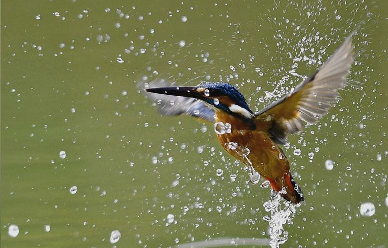 春天里的翠鸟