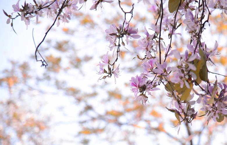 【春天的中国】福州:羊蹄甲花开花满街