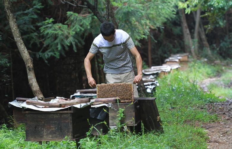 福建顺昌:高山生态养蜂助农增收