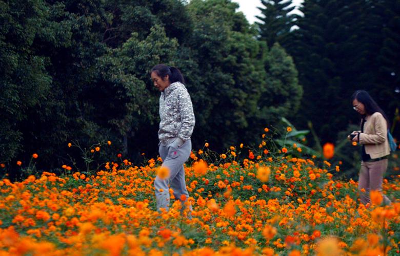 3500平方米硫华菊正盛开 福州闽江公园南园赏花去