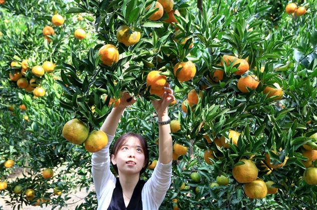 福建长泰:正是橙黄橘绿时