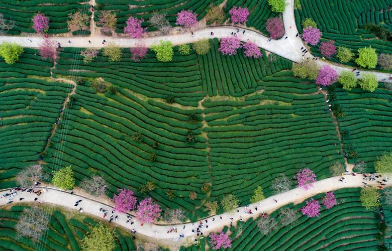 福建漳平:茶園櫻花引客來