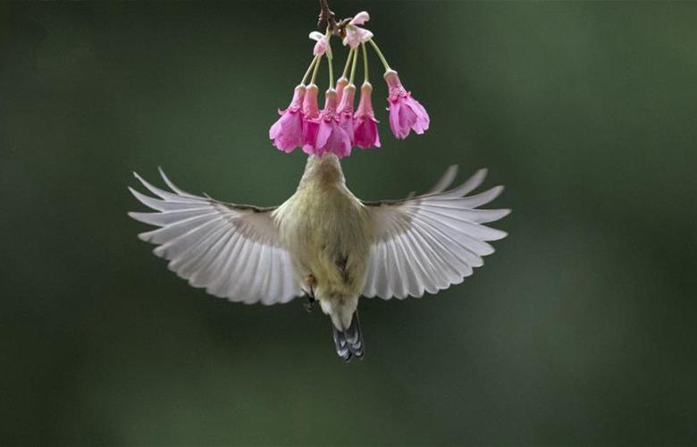 叉尾太阳鸟悬停采蜜