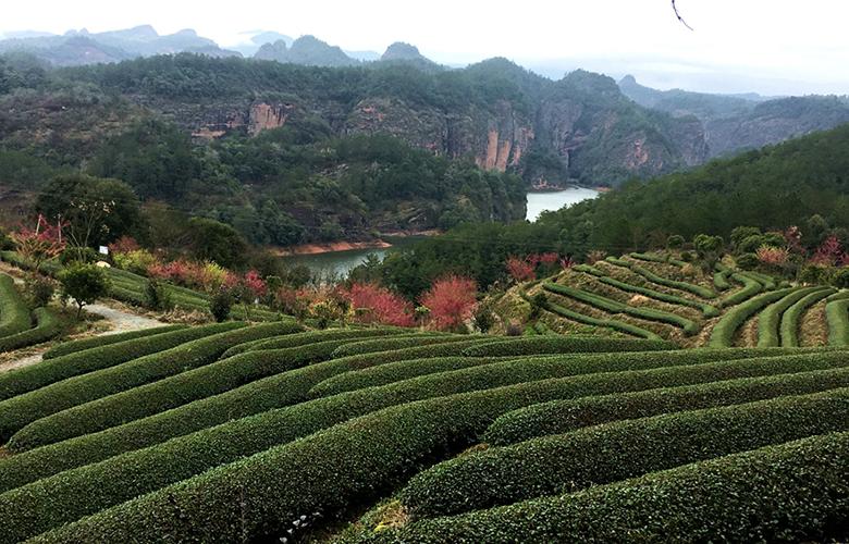 """福建泰寧:打造""""茶香金湖"""" 助力鄉村振興"""