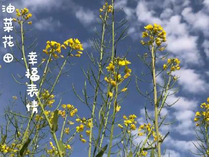 春到福州:油菜花田裏的幸福表情