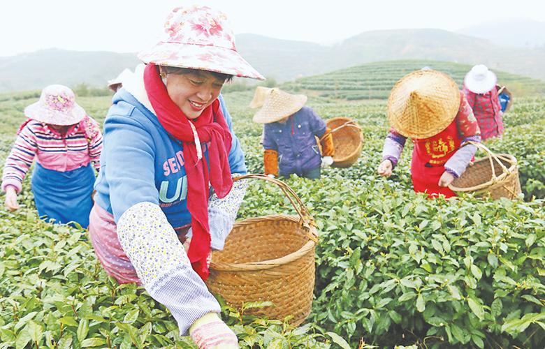 """霞浦:茶农忙采""""元宵茶"""""""
