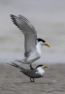 大鳳頭燕鷗的沙洲柔情