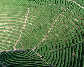 漳州:生態茶園探新路