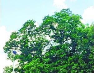 漳州500多歲古樹花開正旺香飄鄉裏