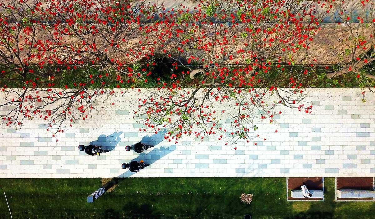 福建泉州:刺桐花開紅勝火