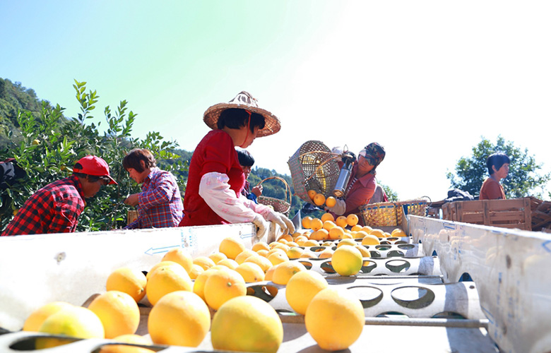 福建南安:臍橙豐收助脫貧