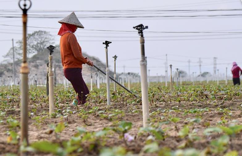 福建漳浦:田間護理忙農事