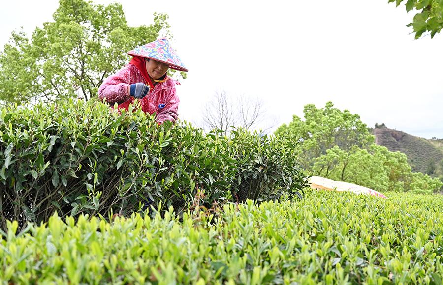 福建福鼎:又到春茶採摘時