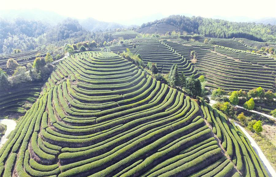 福建政和:茶産業助農民脫貧致富