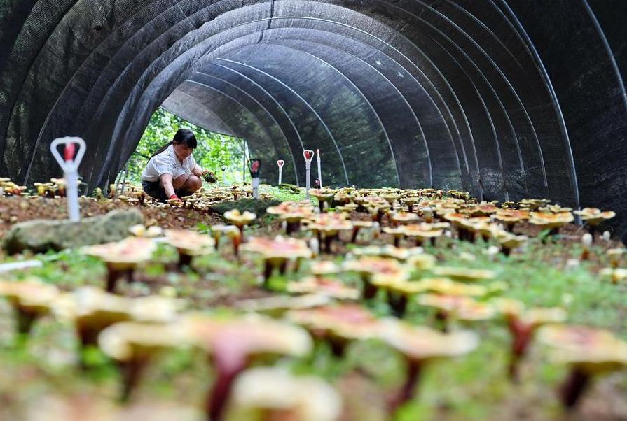 福建永春:發展特色農業 助推鄉村振興