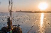 【圖片故事】福建湄洲灣開啟海帶豐收季