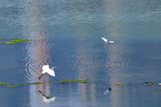 漳州開發區:白鷺紛飛 生態之美