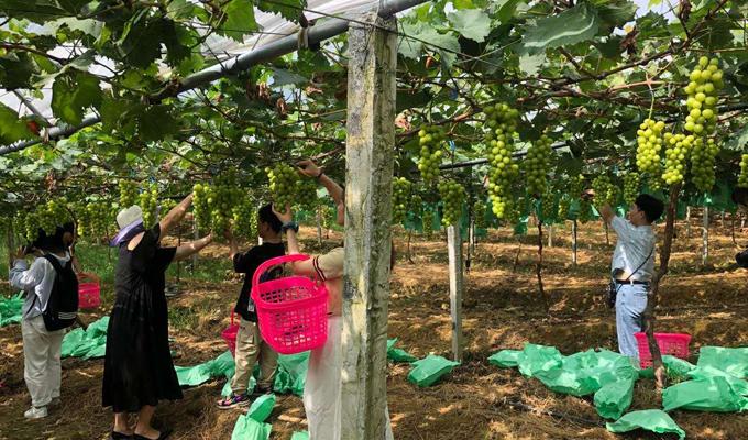 建行幫扶的芹香印青提種植合作社喜獲豐收