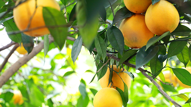 福建南安:橙果滿枝慶豐收