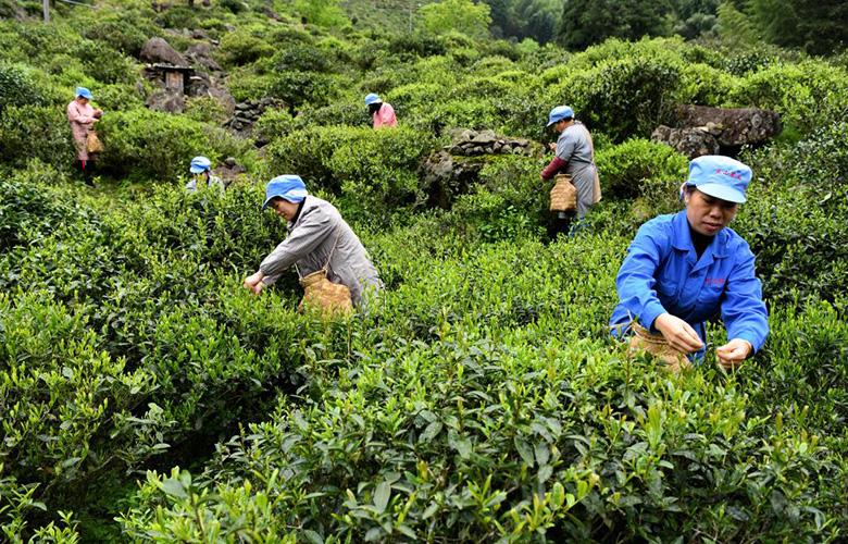 福建武夷山:紅茶之鄉採茶忙